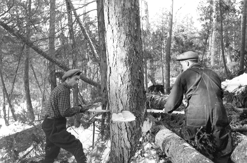 Archival photo of two men sawing tree
