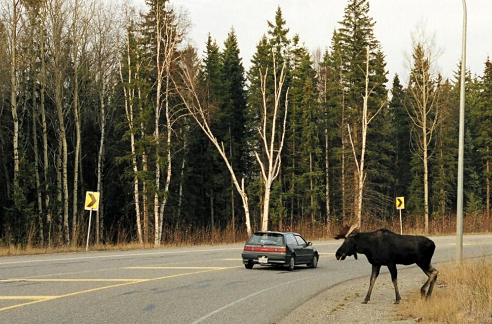 Moose crossing highway