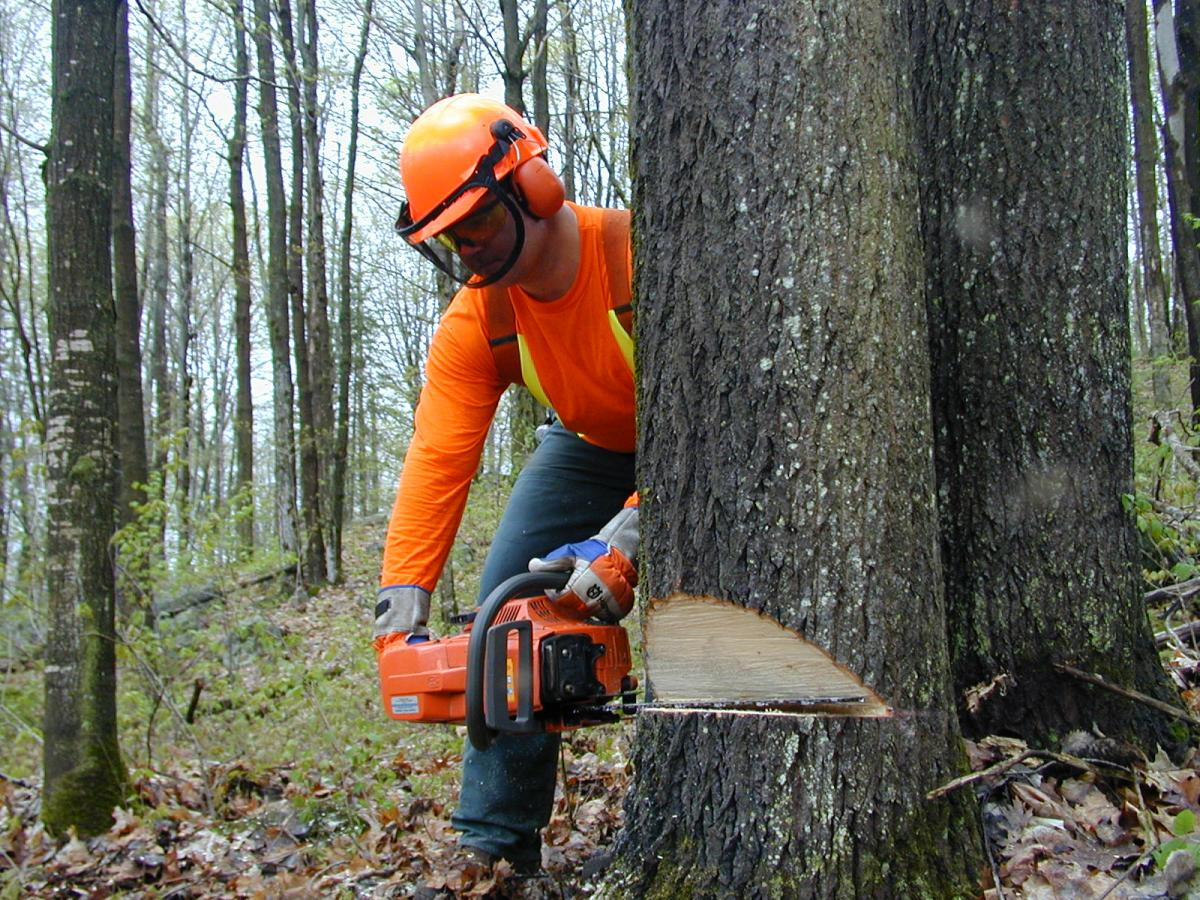 forestry worker with chainsaw cutting tree
